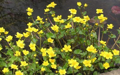 Caltha Palustris the Marsh Marigold or Kingcup