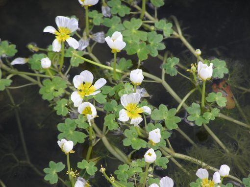 Ranunculus Aquatilis - Water Crowfood from pondplants.co.uk