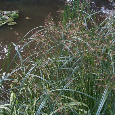 Dark green ornamental grass