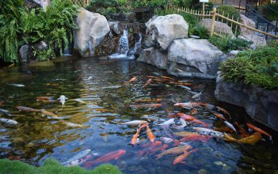 What plants can I put in my Koi pond?